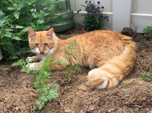 Buster in the catnip patch