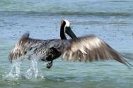 pelican-fly1a